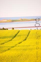 Canola fields in Prince Edward island